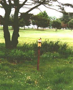 Tree Swallows nest on golf course