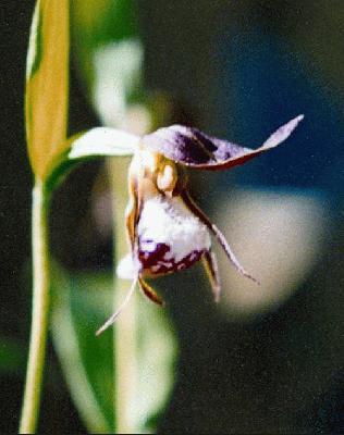 Cypripedium guttatum alaskanum