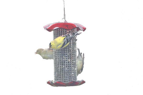 Bird's Choice 1 Quart Forever Sunflower Feeder