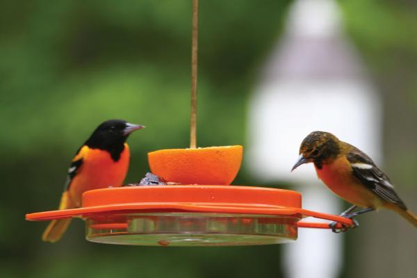 Bird's Choice Oriole-Fest Oriole Feeder-12 oz