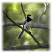 [Black Capped Chickadee]