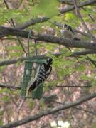 [Downy Woodpecker]