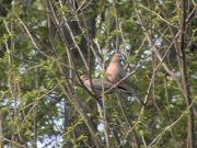 [Mourning Dove]