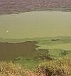 planktonic_algae