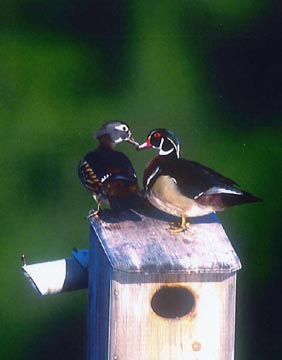 Wook Ducks love Coveside Nest Box - Dr Gerald Barrack, Allendale, NJ